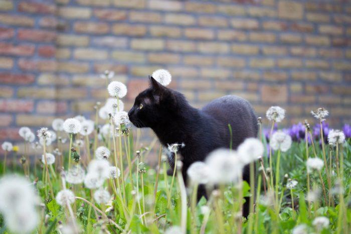 黒猫を見るとラッキーがやってくる